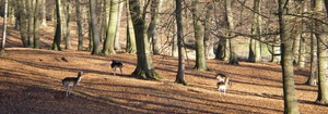 Deer in the Chilterns